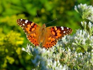 American Painted Lady Butterfly (Vanessa cardui)