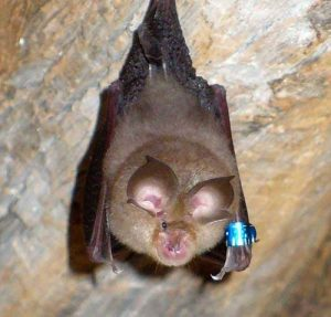 Bats (Chiroptera laurasiatheria)