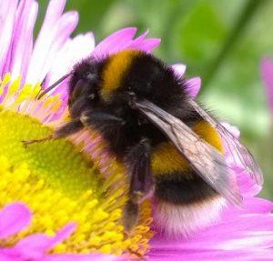 Bumble Bees (Bombus pennsylvanicus)