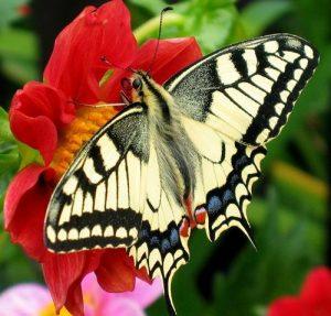 Butterflies (Rhopalocera)