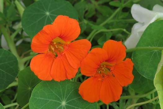 How to Grow Nasturtium