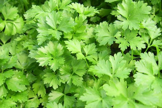 Edible Parsley