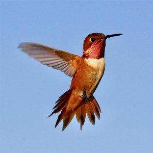 Hummingbirds (Trochilidae apodiformes)