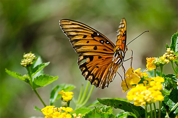 How Can Gardeners Help Save the Butterflies?