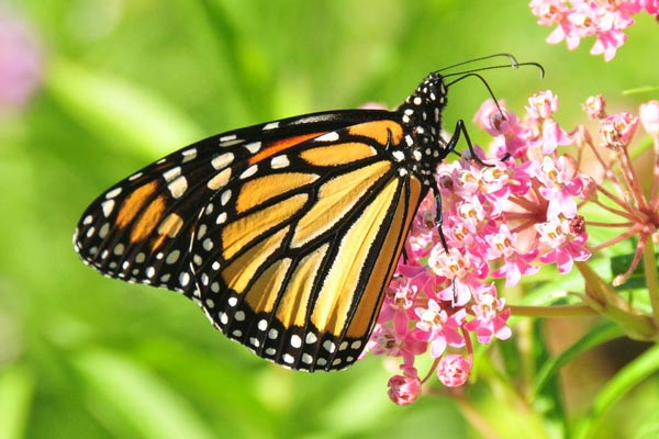 The Importance of Growing Milkweed