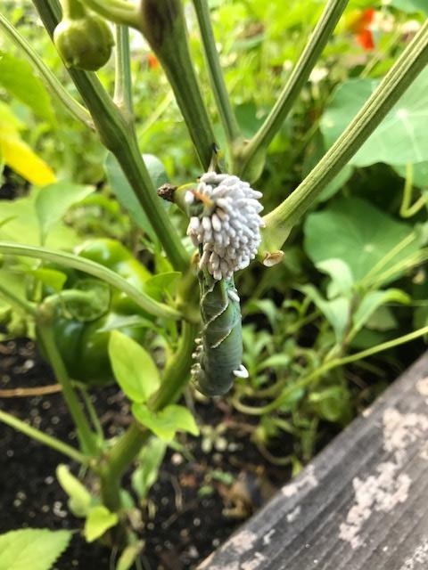 Braconid Wasp Larvae