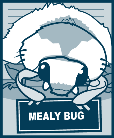 Pests - Mealy Bug