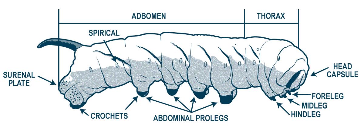 Tomato Worm Anatomy