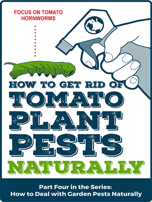 How to get Rid of Tomato Plant Pests Naturally: Focus on Tomato Hornworms – Part Four of a Series
