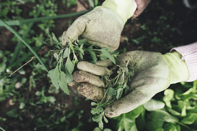 Pulling weeds from your garden