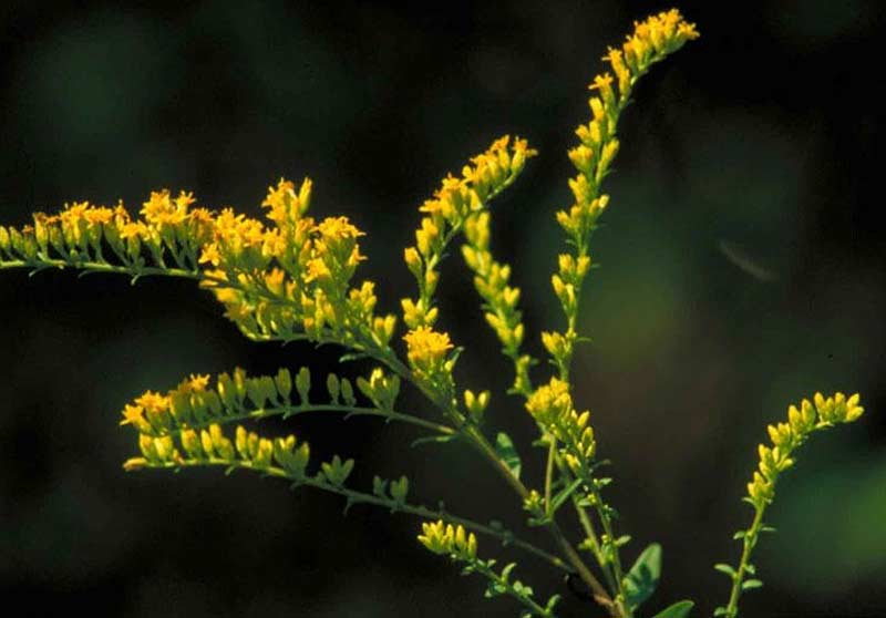 Goldenrod (Solidago virgaurea var. leiocarpa)