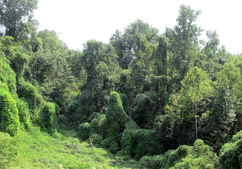 Kudzu (Pueraria montana)